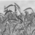 Australia's GM wheat will only worsen world hunger