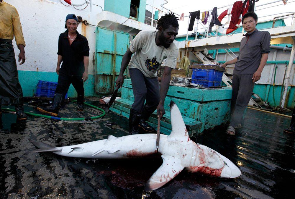 © Greenpeace / Alex Hofford A shortfin mako shark is hacked to death on board the mainland Chinese longline fishing vessel 'Jing Lu Yuan No005'