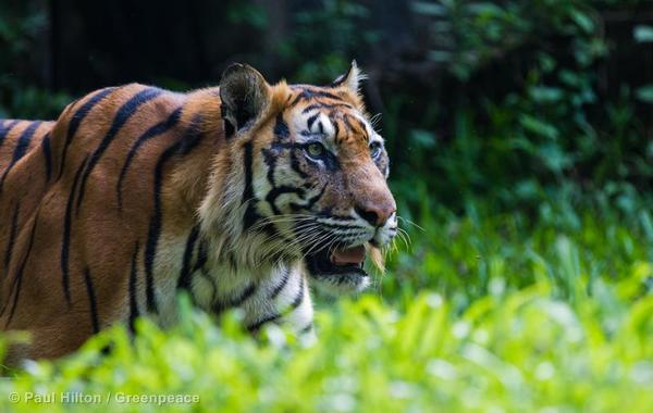 Sumatran Tiger in Indonesia