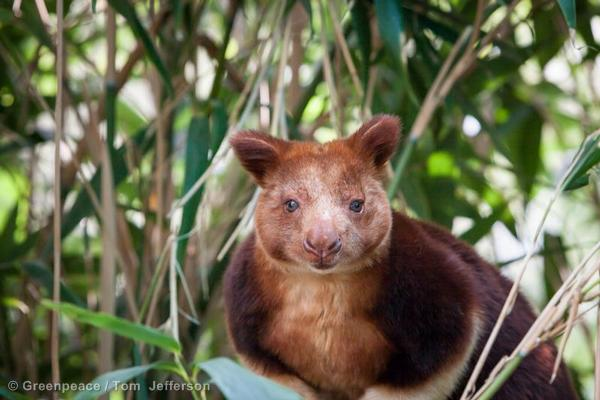 Tree Kangaroo at Melbourne Zoo