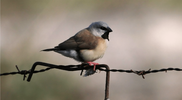 black_throated_finch_42928