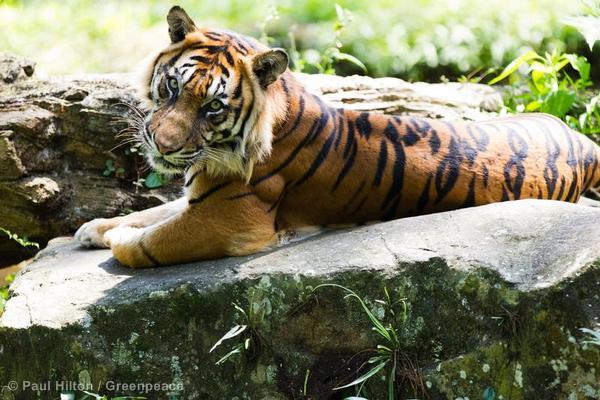 Sumatran Tiger in Indonesia
