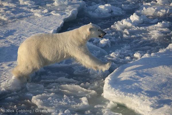 Polar Bear on Sea Ice Floe