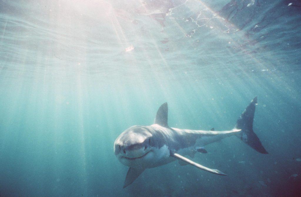 White SharkGrosser Weisser Hai