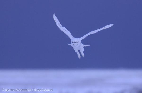 Snow Owl Schneeeule