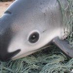 Last chance to save the vaquita?