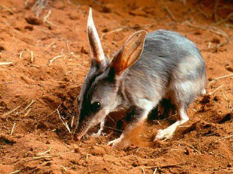 Macrotis_lagotis_-_bandicut_conejo