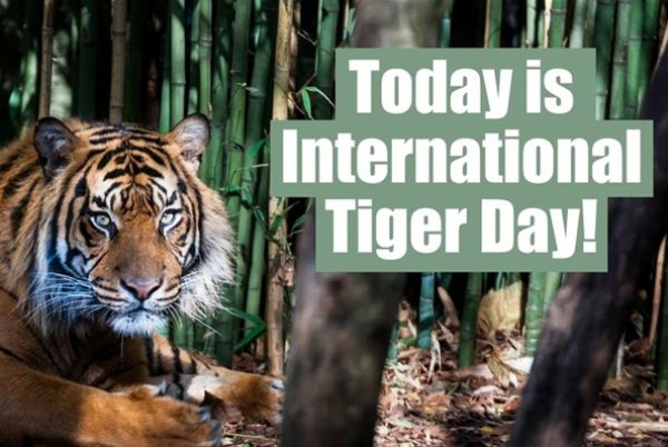 Why International Tiger Day is about more than just saving tigers