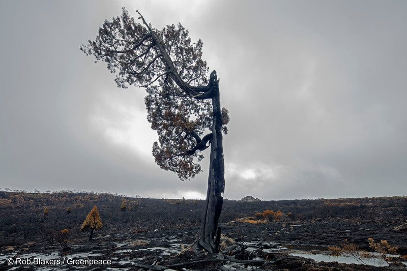 Over 100,000 hectares have been damaged by bushfires, including parts of the World Heritage Area containing trees that are over 1,000 years old.