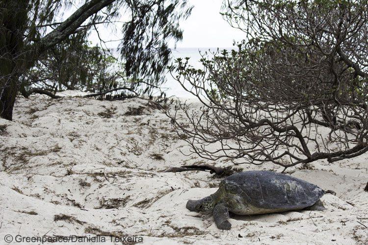 Turtle nesting on Heron Island, Great Barrier Reef