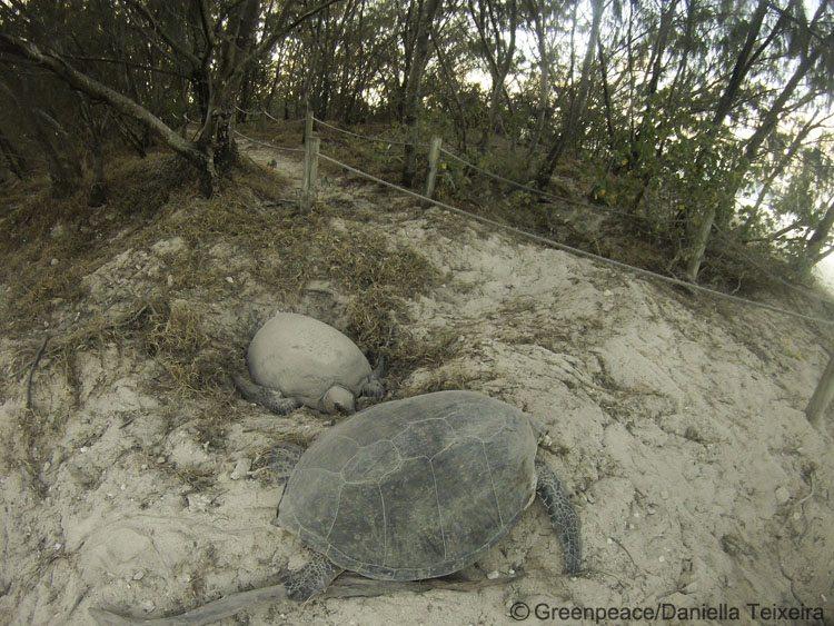 Turtles nesting on Heron Island, Great Barrier Reef