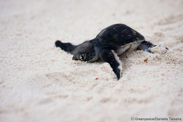 Turtle hatchling on Heron Island, Great Barrier Reef