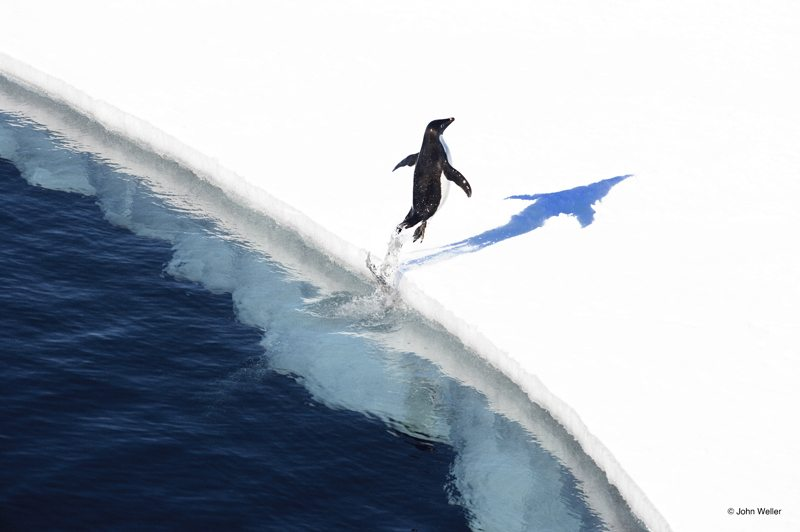 Adelie penguin jumping onto the ice in the Ross Sea, Antarctica by John Weller.