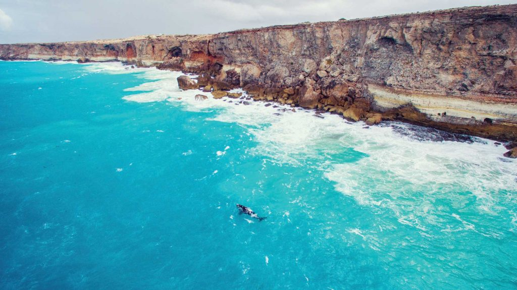 A whale swims in the Great Australian Bight