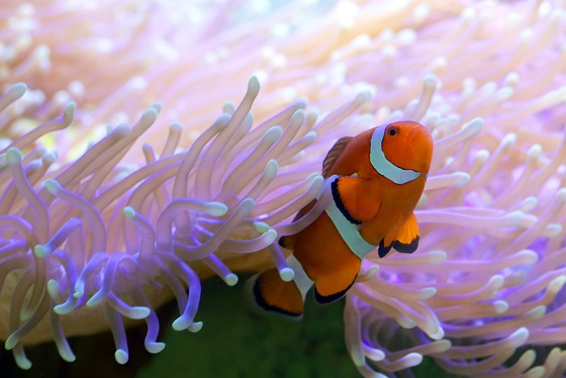A clown fish emerges from an anemone