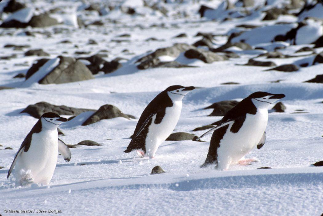 Penguins at the Chilean base Presidente Frei. Antarctica.