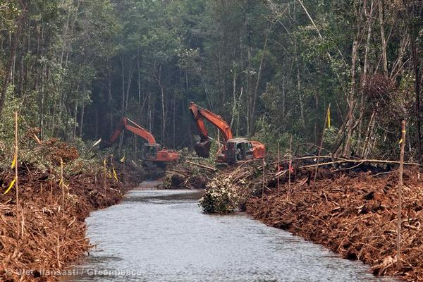 Active clearance and drainage of peatland rainforest