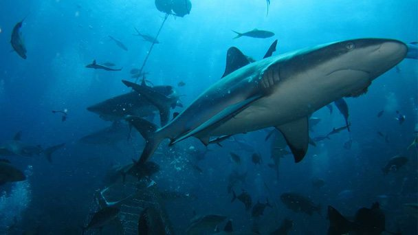 The Majority Of Sharks That Were Killed In Cull Tiger Despite White Being Main Target Western Australian