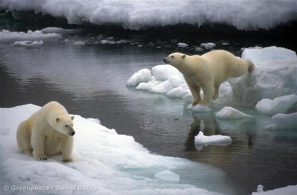 Polar Bears in Chukchi Sea