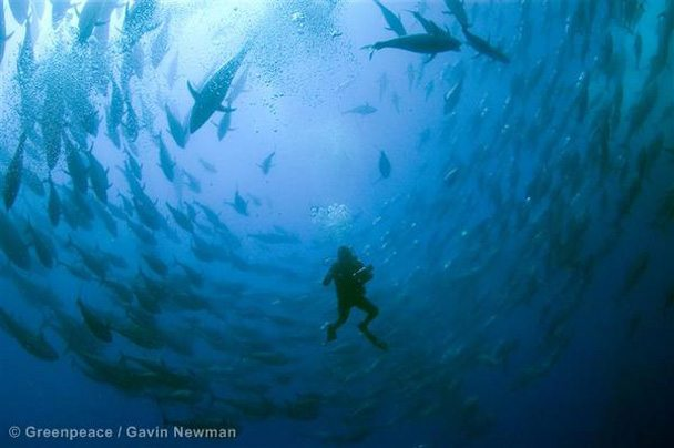 Diver amongst Captive Bluefin Tuna © Greenpeace / Gavin Newman