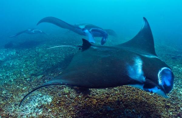 Manta rays enjoy the strong currents inside the Komodo National Park, near Flores, Indonesia.