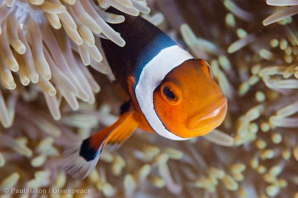 A Clownfish enjoys the safety of an anemone at Kanawa Island near Flores, Indonesia.