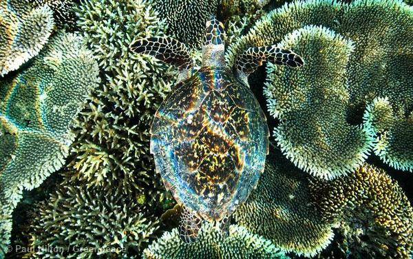 A critically endangered hawksbill turtle swims over the coral gardens at Kanawa Island near Flores, Indonesia.