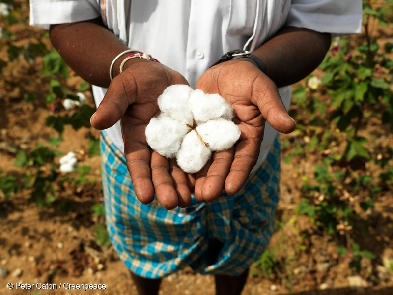 Organic Cotton in Hands of Farmer