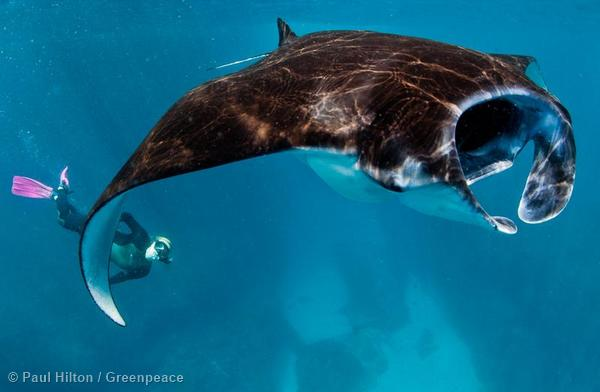 A diver views manta rays (Manta alfredi) swimming through the plankton rich waters off the coast of Nusa Penida, where major ocean currents converge between the Pacific and Indian Ocean.