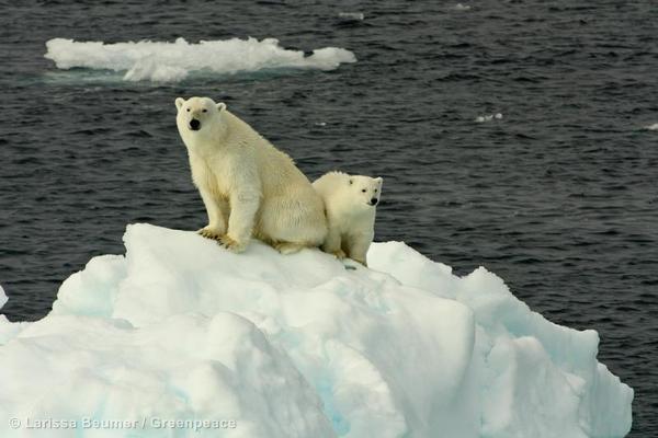 Polar Bears on Sea IceEisbaeren auf Eisscholle