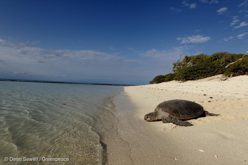 Green Turtle on Heron Island