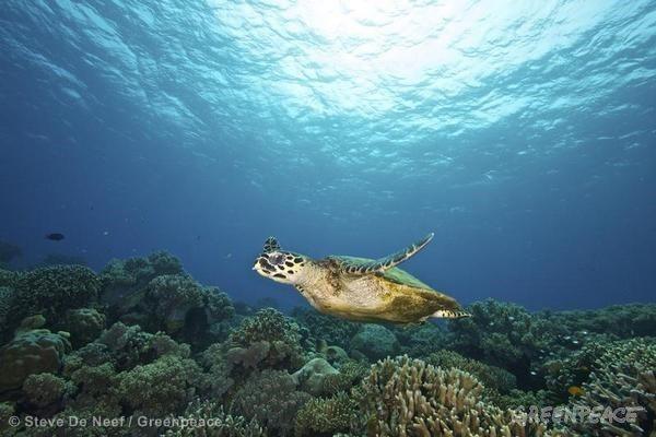 Green Sea Turtle in Apo Island
