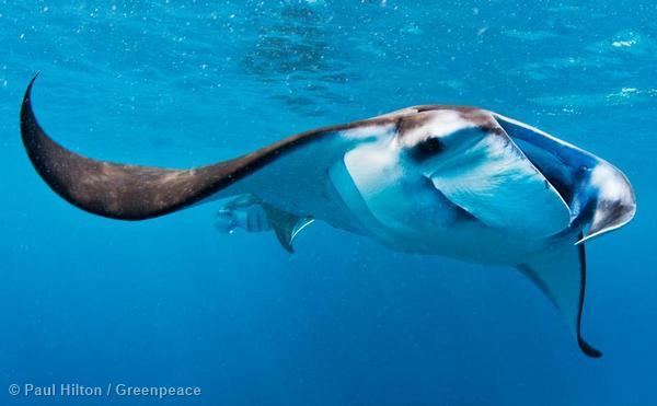 Manta Rays off the Coast of Nusa Penida