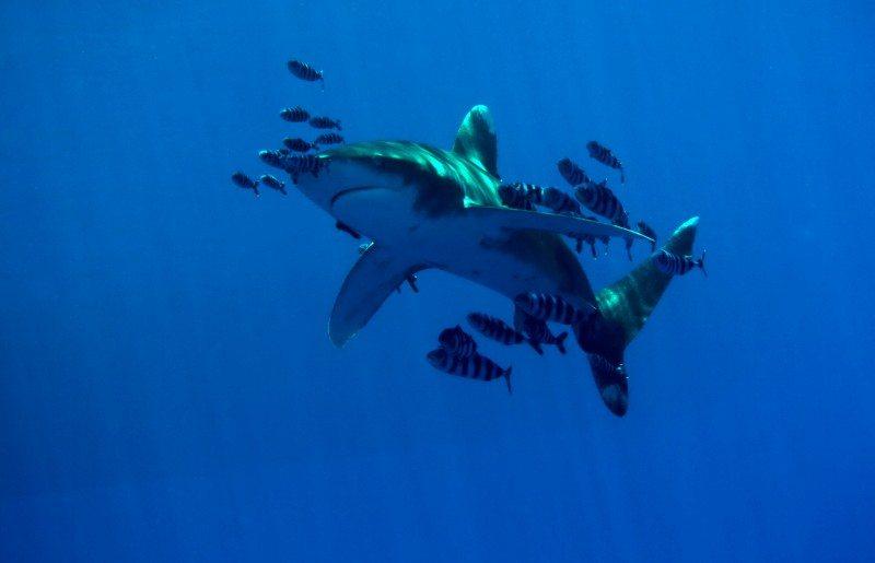 Oceanic Whitetip Shark in Egypt
