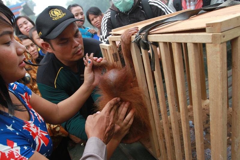 Orangutan Rescued in West Kalimantan