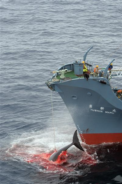 In 2006, the Yushin Maru catcher ship of the Japanese whaling fleet injures a whale with it's first harpoon attempt, and takes a further three harpoon shots before finally killing the badly injured fleeing whlae.