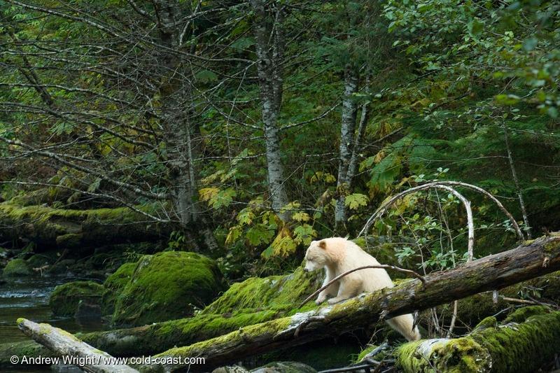 A bear climbs over a fallen tree in the Great Bear Rainforest