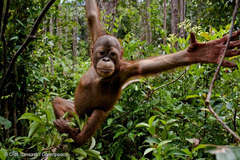 Baby orangutans at the Orangutan Foundation International Care