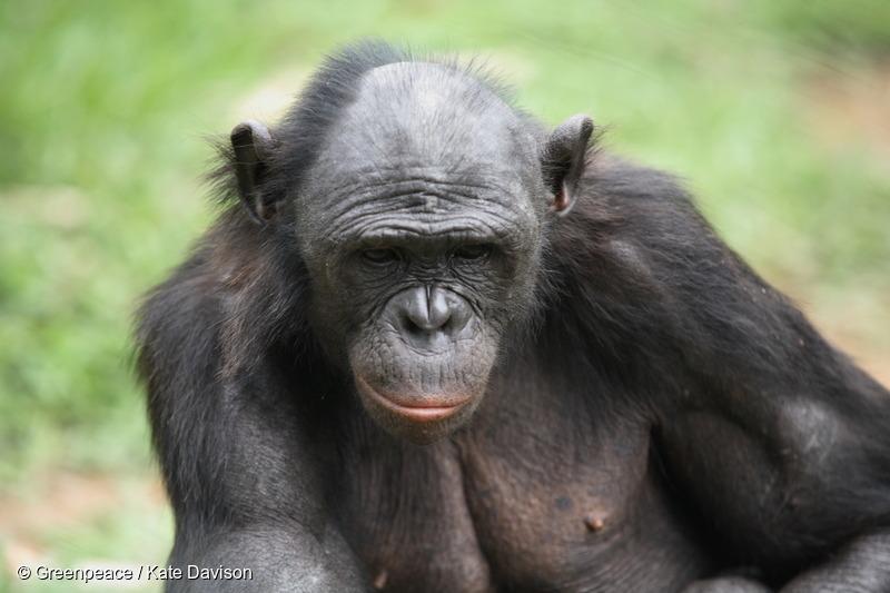 Bonobo in Congo