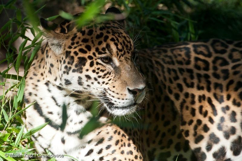 Jaguar in Calilegua National Park