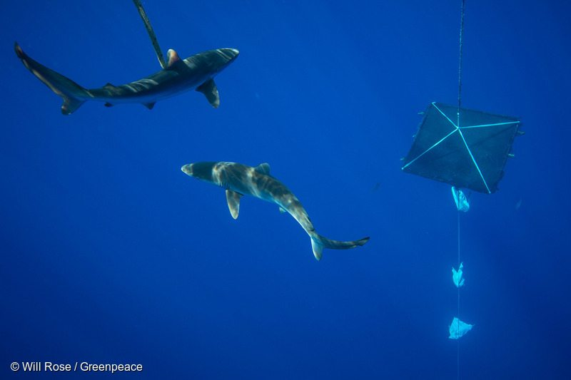 Silky sharks circle a recently placed FAD (fish aggregating device) in international waters in the Indian Ocean. The marine snare was left by a vessel supplying Thai Union. A Greenpeace team recovered the FAD and took it back to the Esperanza for dismantling.
