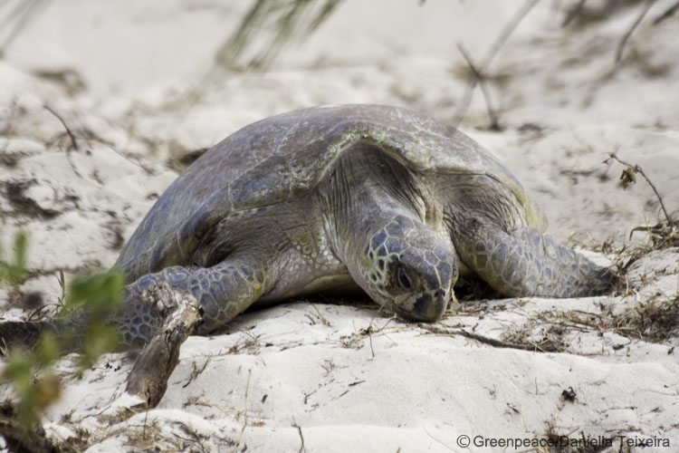 Turtle returning to sea after laying her eggs on Heron Island, Great Barrier Reef.