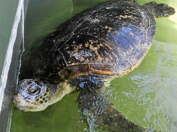 Effort - the green turtle