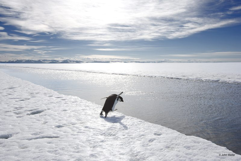 Adelie penguin diving into an ice-crack in the Ross Sea, Antarctica by John Weller