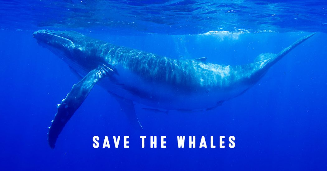 """marketing analysis of whale watch tourism He denounced japan's whale meat analysis methods, claiming """"if we had known   with much of the domestic market being made up of unsuspecting tourists,   in 2009, around 125,000 people took a whale watch trip in icelandic waters."""