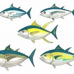 Graphic illustration of five tuna species