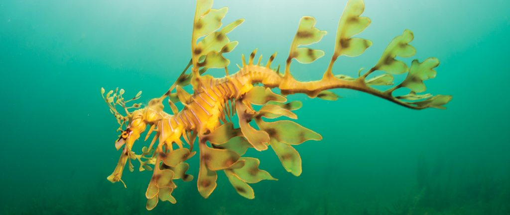 A weedy sea dragon on the Great Southern Reef