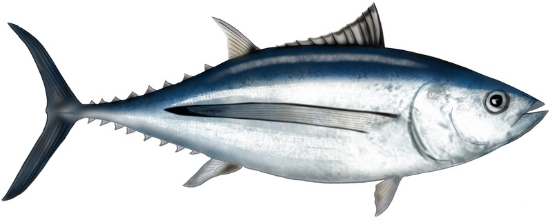 Graphic illustration of an albacore tuna fish.