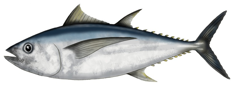 Graphic illustration of a big eye tuna fish
