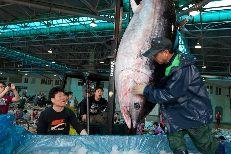 A bluefin tuna in a fish market in Korea. The southern bluefin is classified as an endangered tuna species